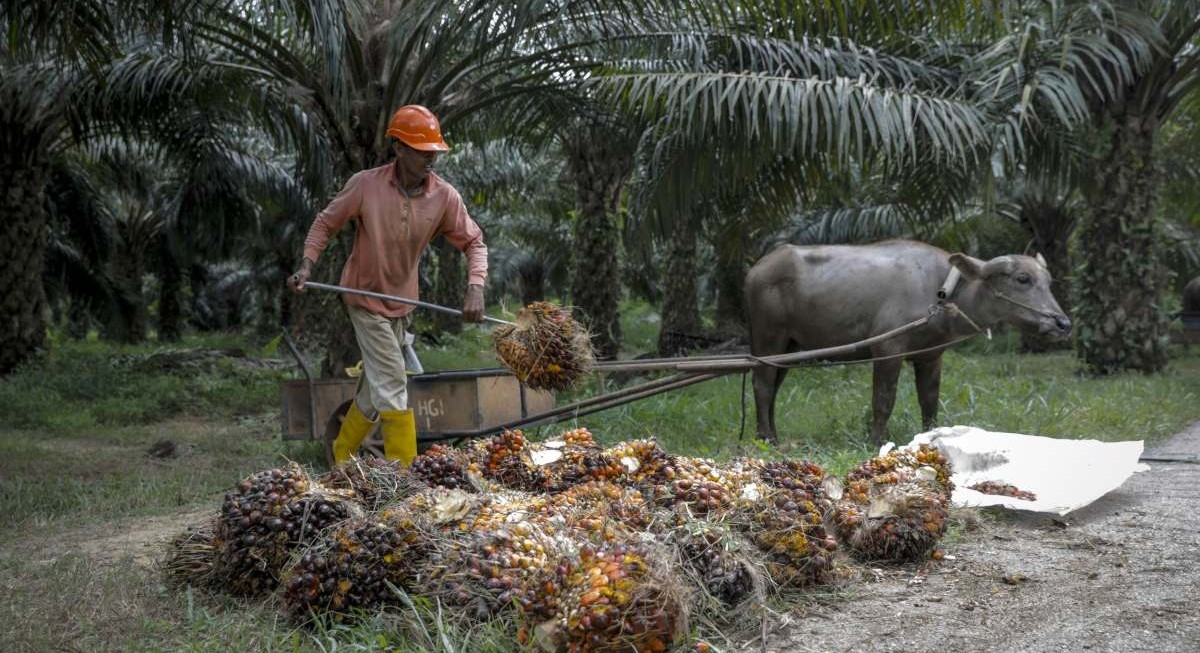 UOB maintains 'market weight' for plantation sector, First Resources among sector picks - THE EDGE SINGAPORE